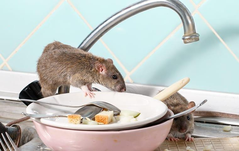 a rat infestation in a norfold virginia home during winter