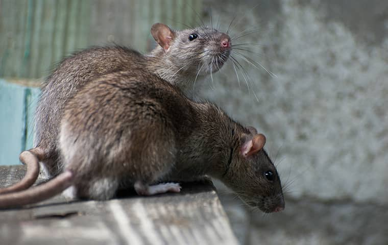 two rats perched on a counter inside of a home in powells point north carolina