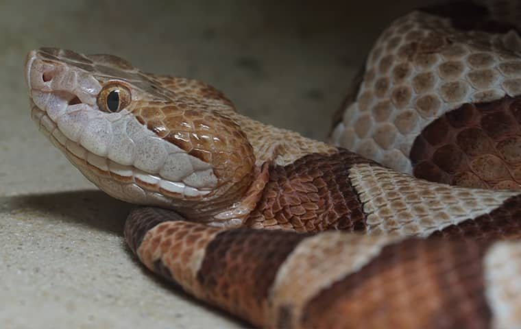 a copperhead snake coiled inside of a home in smithfield virginia