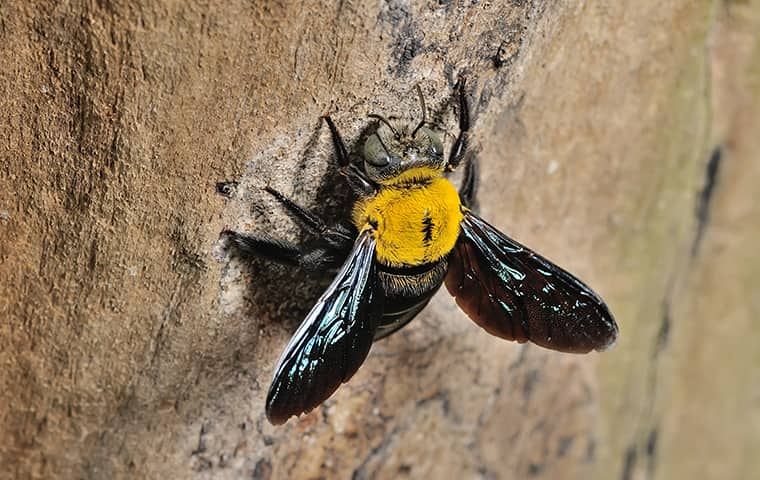 a carpenter bee in a tree outside of a home in manteo north carolina