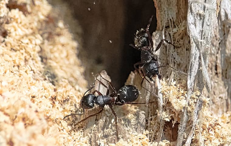 carpenter ants destroying wood in kill devil hills north carolina
