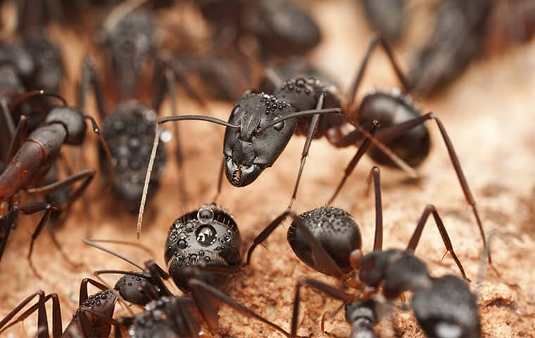 carpenter ants destroying wood in buxton north carolina