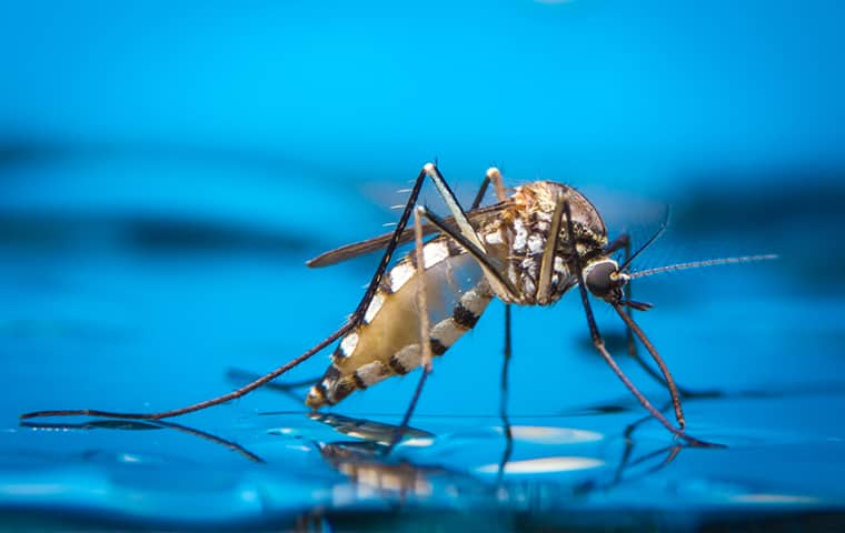 a mosquito crawling on standing water in manteo north carolina