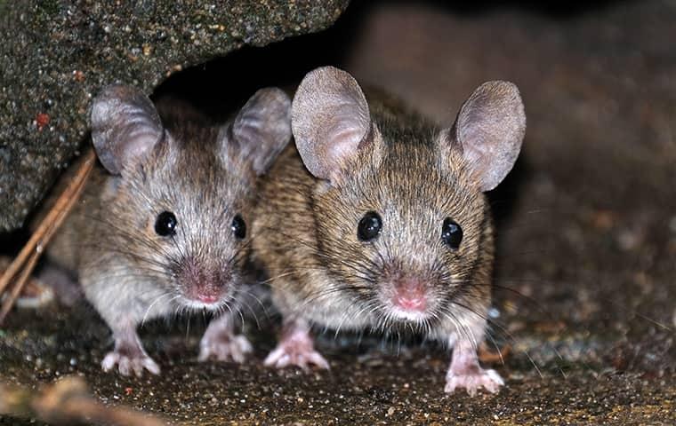 two mice hiding under a rock in kill devil hills north carolina