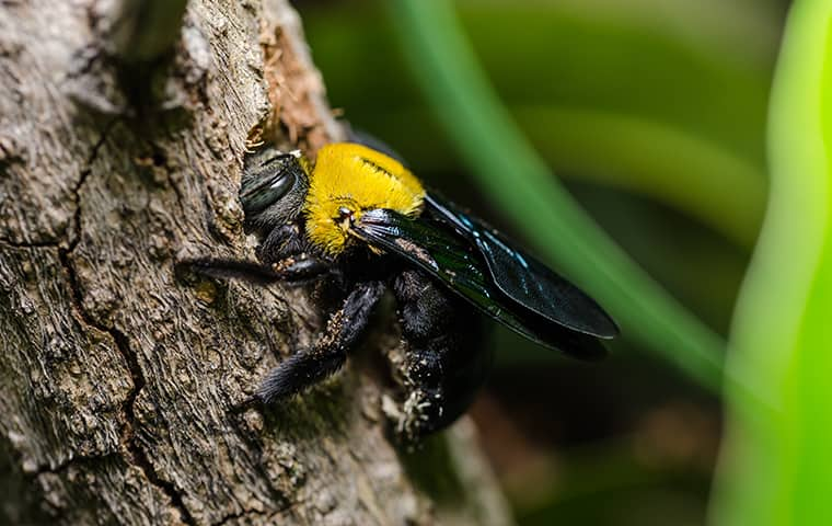a carpenter bee on a tree in point harbor north carolina