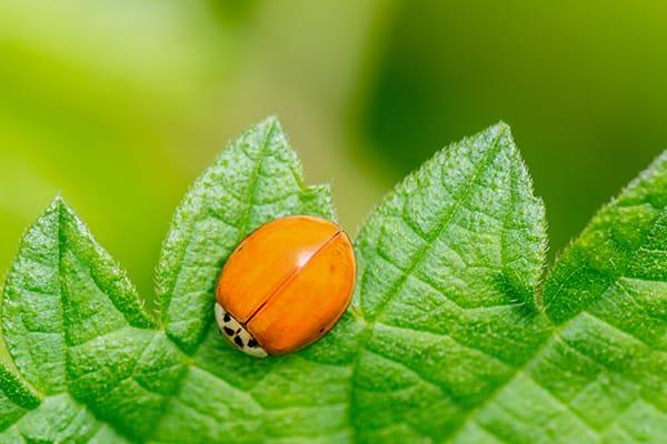 an asian ladybug crawling on a green leaf