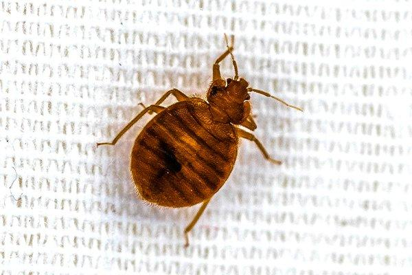 a bed bug on bed sheets