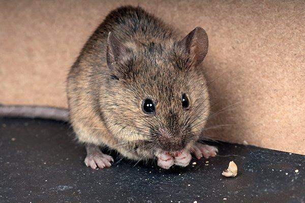 house mouse in a kitchen eating food