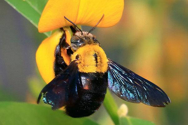 a carpenter bee on a flower in portsmouth ohio