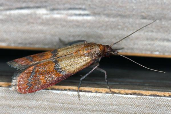 an indian meal moth in portsmouth ohio