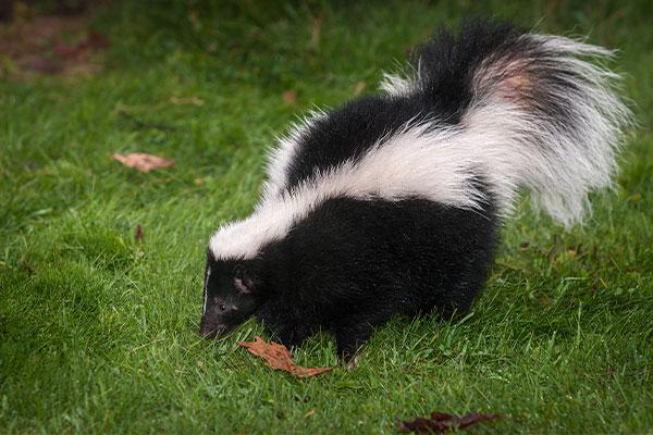 a skunk in the grass in portsmouth ohio