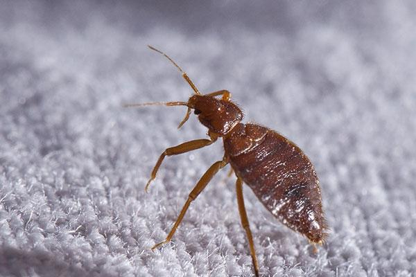 a bed bug crawling on a mattress in portsmouth ohio