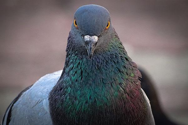 close up of a pigeon in portsmouth ohio