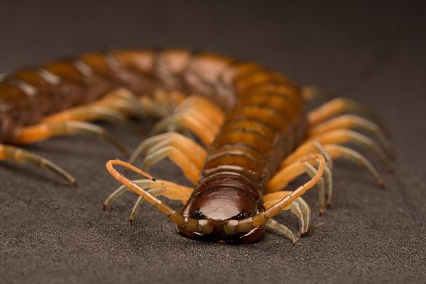 close up of a centipede in portsmouth ohio