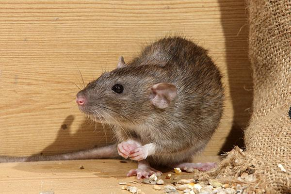 a norway rat in portsmouth ohio