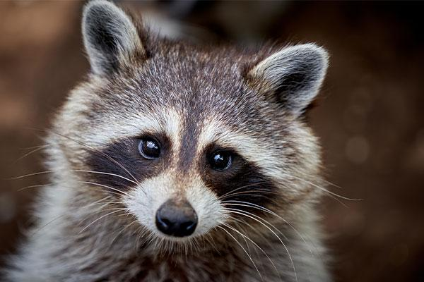 close up of a raccoon in portsmouth ohio