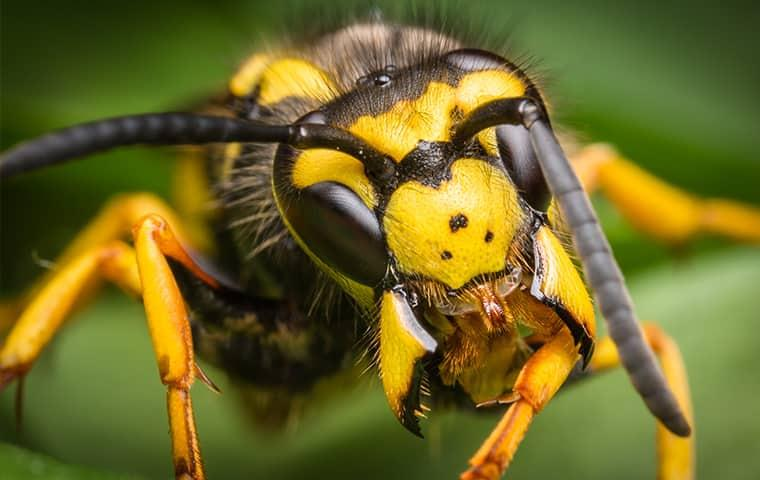 a yellow jacket wasp in a garden