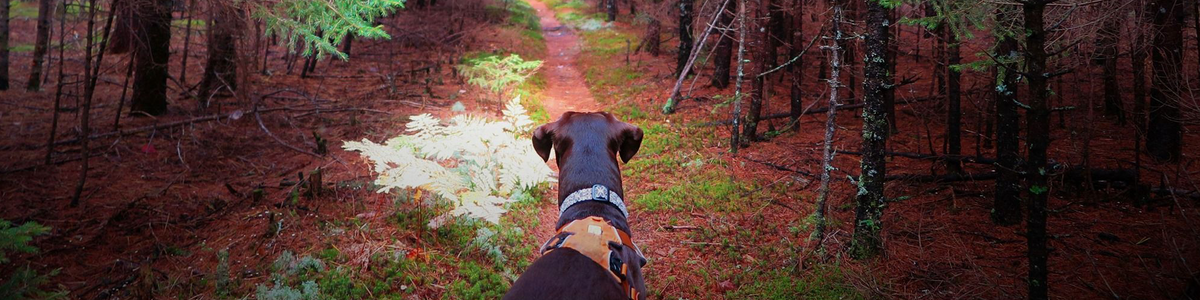 A dog gazes down a forested trail