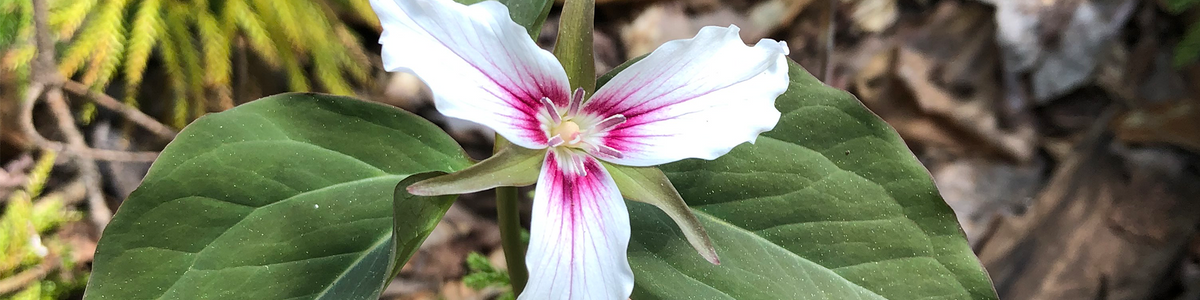 A close-up photo looking downwards at a painted trillium flower
