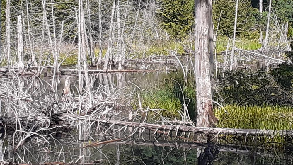 Prime wildlife habitat at the beaver pond at Raven Ridge Natural Area.
