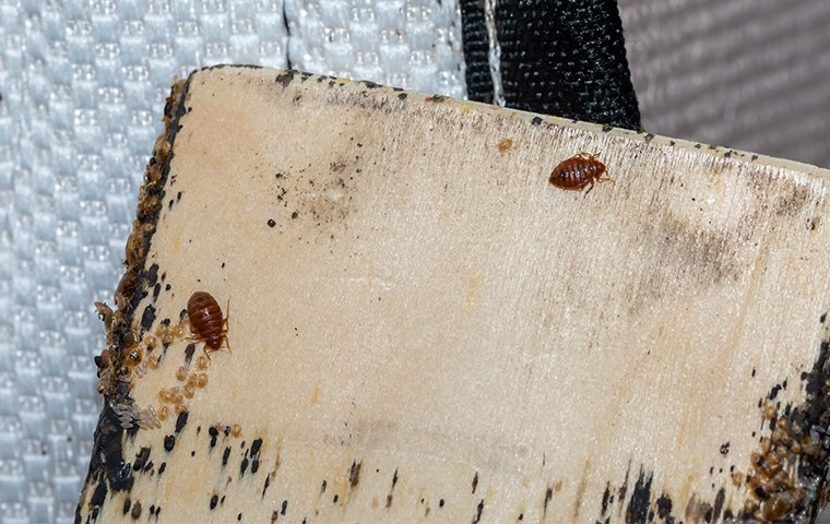 bed bugs crawling on a bed setting inside of a home