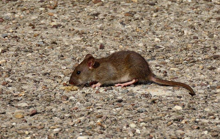 a rat crawling on the ground outside of a home