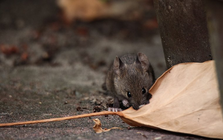 a mouse chewing on a leaf outside of a home