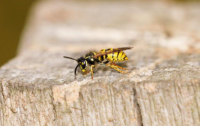 a yellow jacket wasp on a tree stump outside of a home