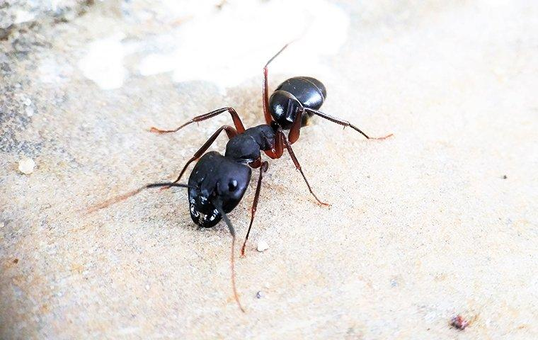 a carpenter ant crawling on a surface inside a home