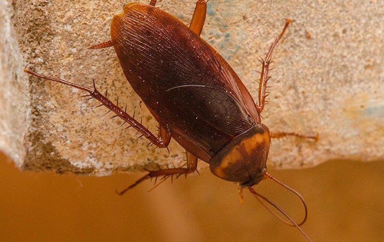 american cockroach on a brick