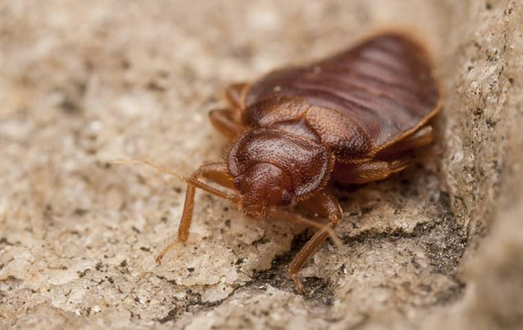 bed bug on a rock