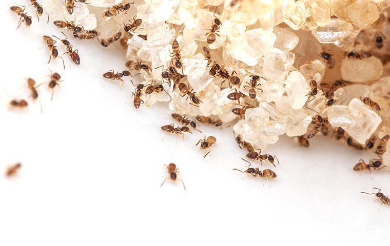 ants crawling on sugar