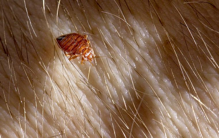 bed bug on skin at night