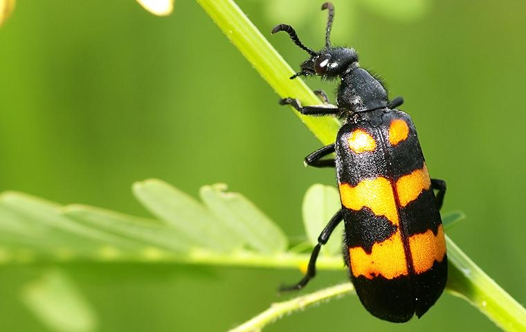 blister beetle up close