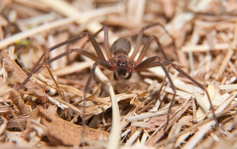an up close image of a brown recluse spider crawling outside