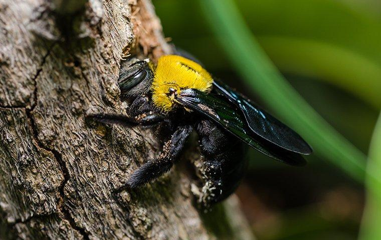 a carpenter bee on wood