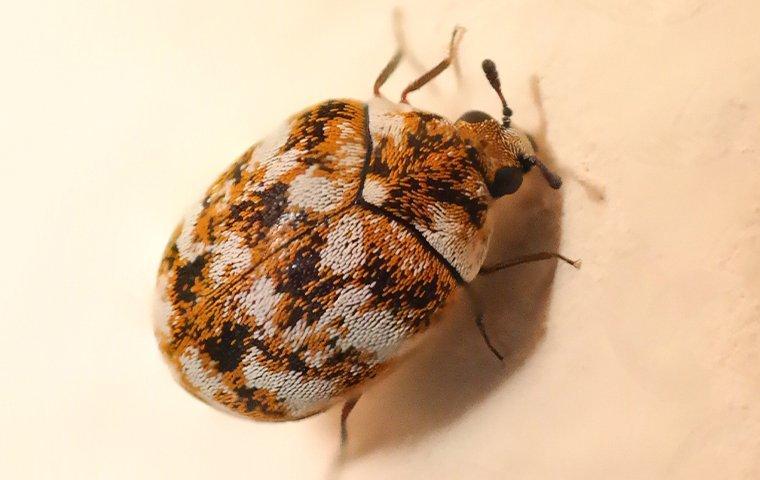 carpet beetle crawling on wall