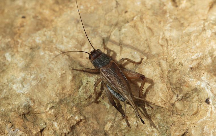 cricket on a rock