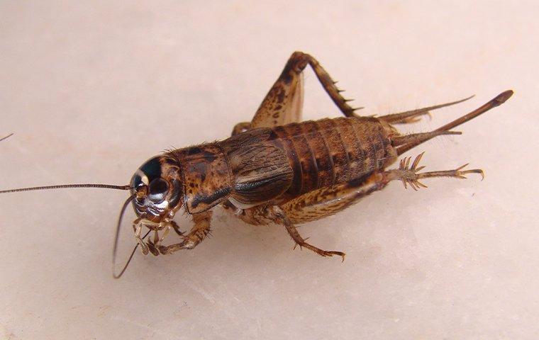 cricket on a tile floor