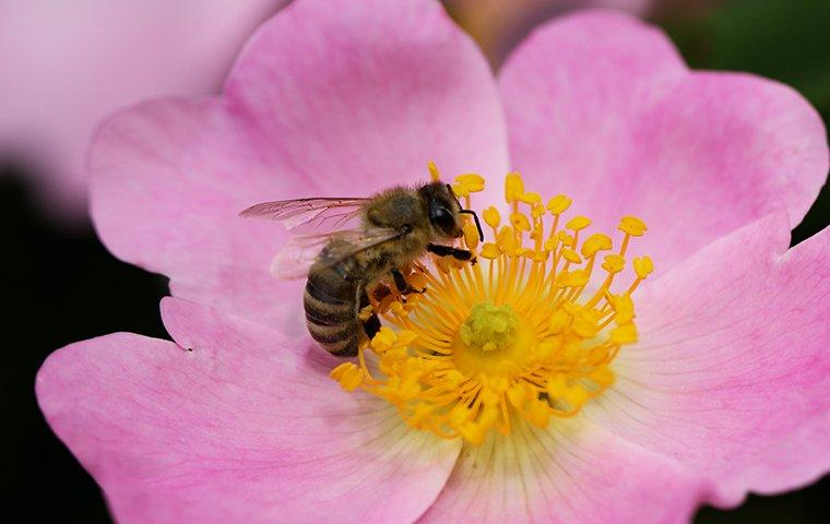 a honey bee pollinating a flower