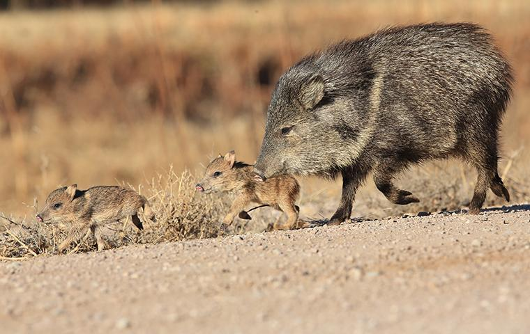 a mother javelina and her young