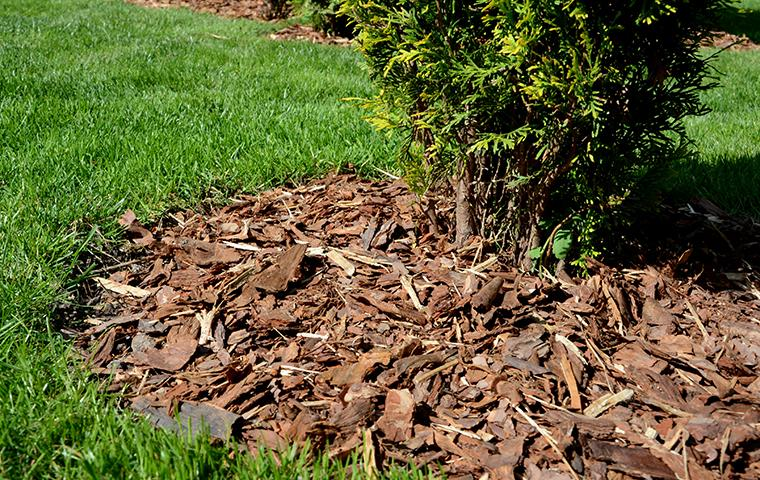 mulch around a shrub