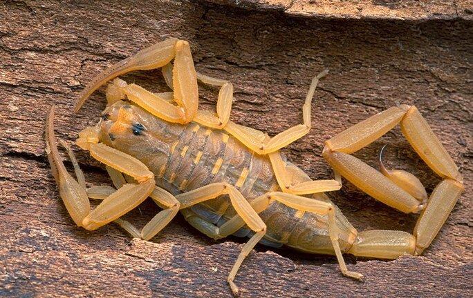 bark scorpion on wood