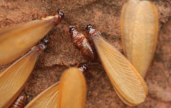 termite swarmers alates on the ground