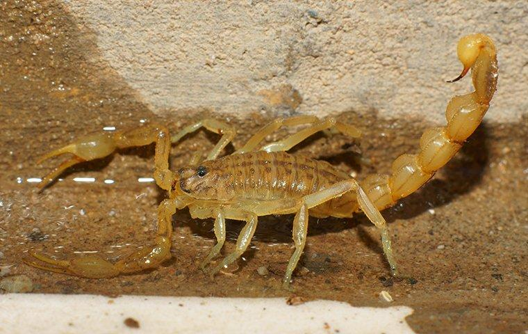 Diy Ways To Kill Scorpions Safely