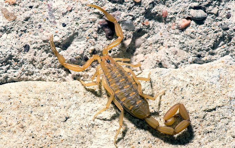 scorpion on rocks
