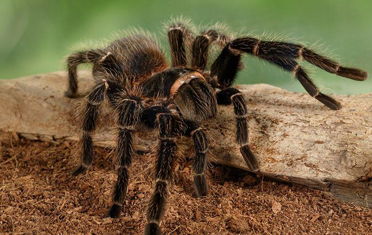 a tarantula crawing in a garden