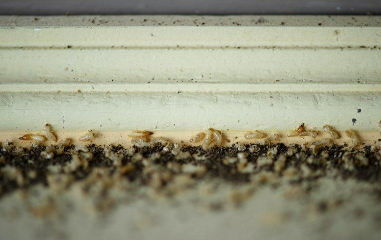 a termite infestation in a home on wooden trim