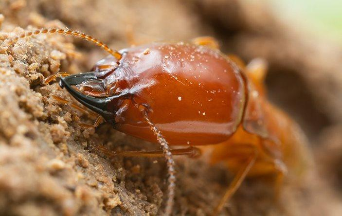 A termite chewing on wood.