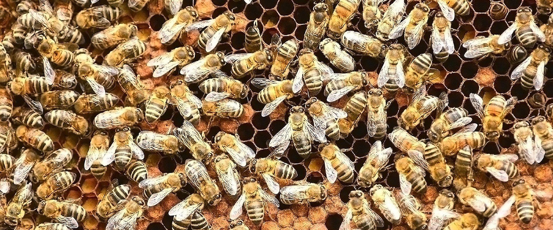 many bees up close